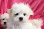 2 stunning pure bred Maltese puppies