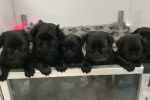 Pug puppies for sale in kuwait